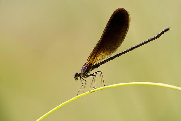 Mannetje koperen beekjuffer (Calopteryx haemorrhoidalis)