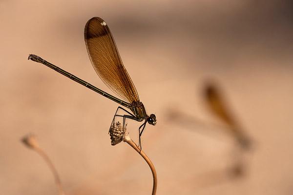 Vrouwtje koperen beekjuffer (Calopteryx haemorrhoidalis)