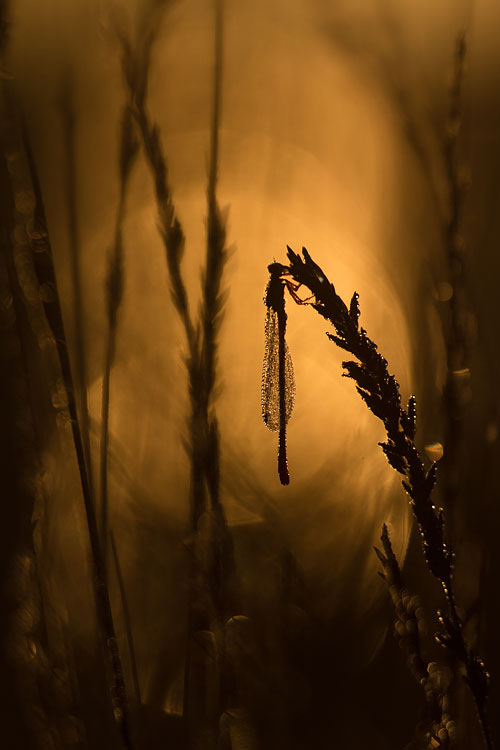 Koraaljuffer (Ceriagrion tenellum) in tegenlicht en bokeh