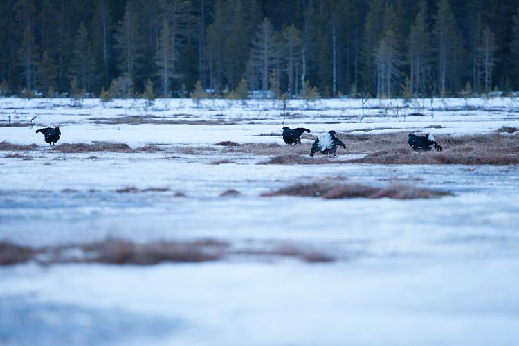 Baltsende korhoenders in het Zweedse landschap