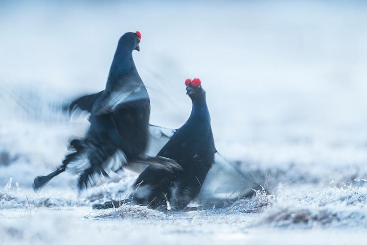 Vechtende korhanen in besneeuwd sprookjeslandschap