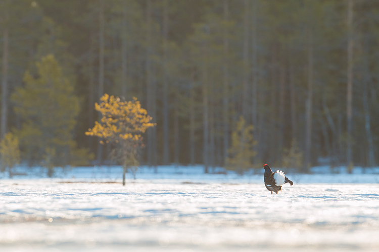 Korhaan in het Zweedse landschap