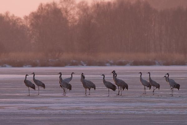 Kraanvogels op het ijs in de Engbertsdijksvenen