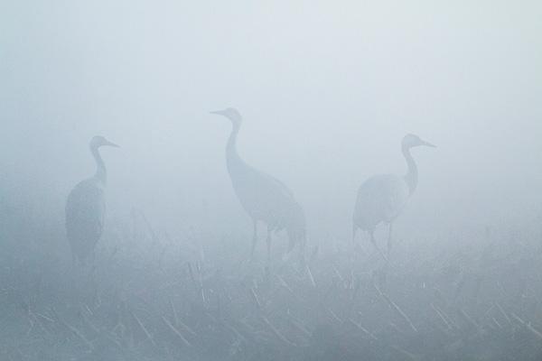 Kraanvogels (Grus grus) in de mist