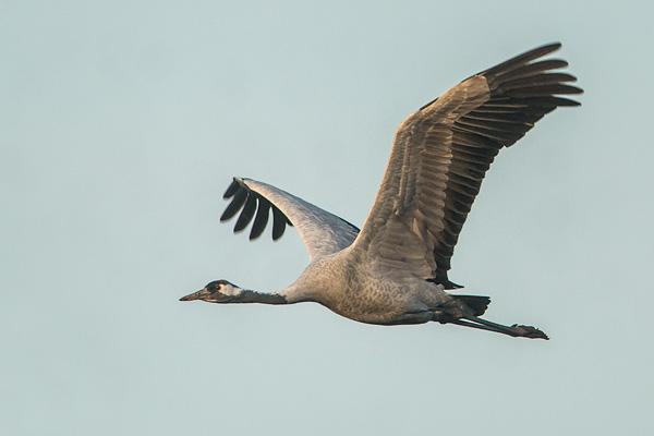 Kraanvogel (Grus grus) in vlucht