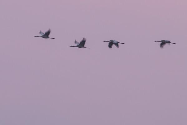 Rijtje kraanvogels (Grus grus) in vlucht bij zonsopkomst