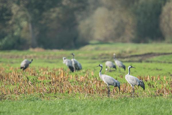Mooi landschap in het Dielholzer Moorniederung met kraanvogels (Grus grus)