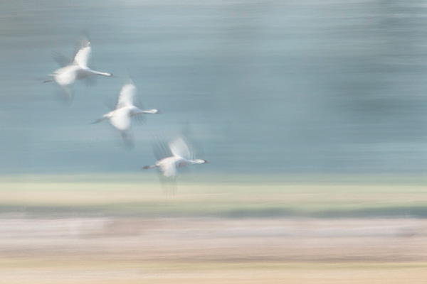Kraanvogels (Grus grus) in vlucht met een lange sluitertijd