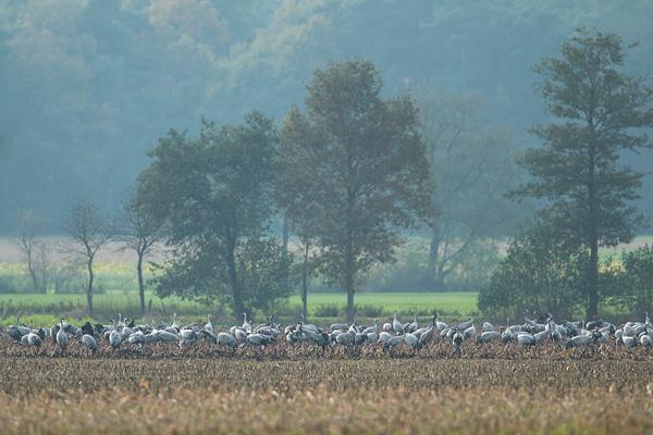 Mooi landschap in het Dielholzer Moorniederung met grote groep kraanvogels (Grus grus)