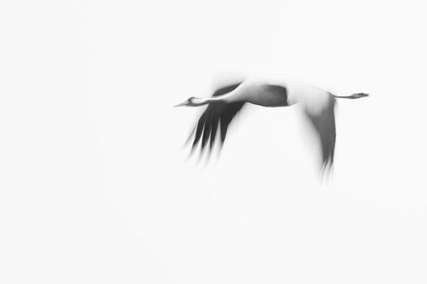 Kraanvogels (Grus grus) in zwart-wit