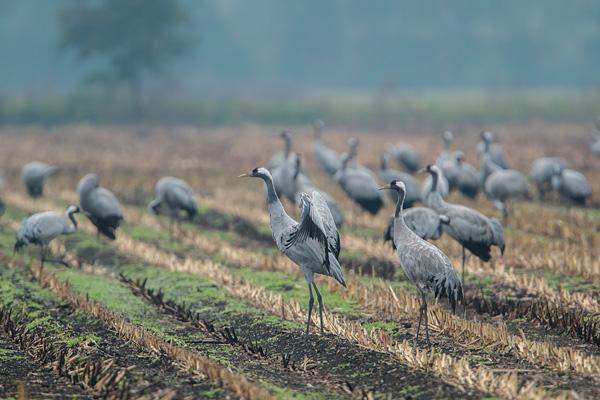 Paartje kraanvogels (Grus grus)