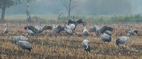 Dansende kraanvogels (Grus grus)