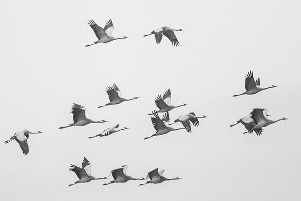 Groep kraanvogels (Grus grus) in vlucht