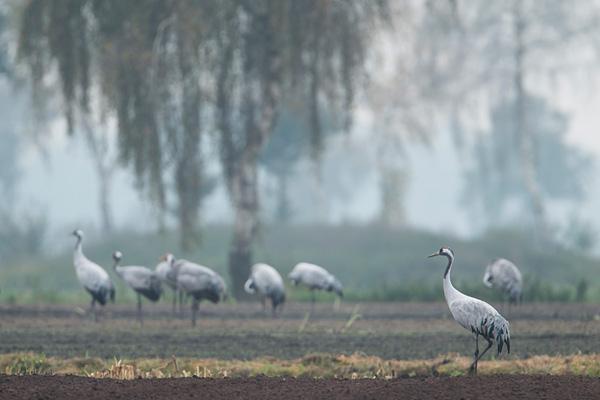 Groep kraanvogels (Grus grus) in het landschap van het Diepholzer Moordniederung