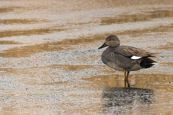 Krakeend (Anas Strepera) op het ijs.