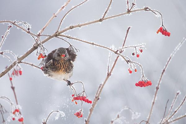 Kramsvogel in gelderse roos