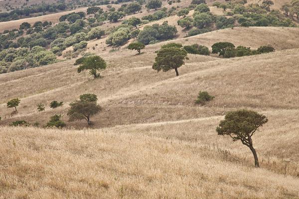 Landschap met steeneiken
