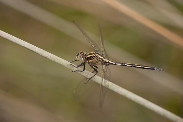 Vrouwtje lange overlibel (Orthetrum trinacria)