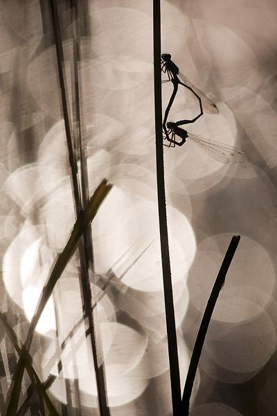 Paringswiel van het lantaarntje (Ishnura elegans)
