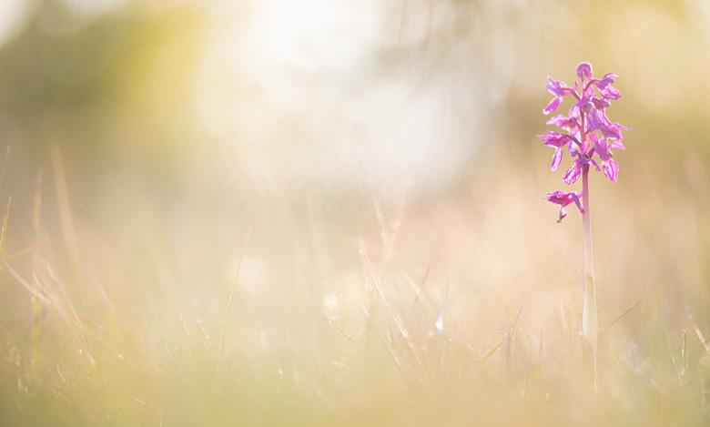 Mannetjesorchis (Orchis mascula) in het laatste licht.