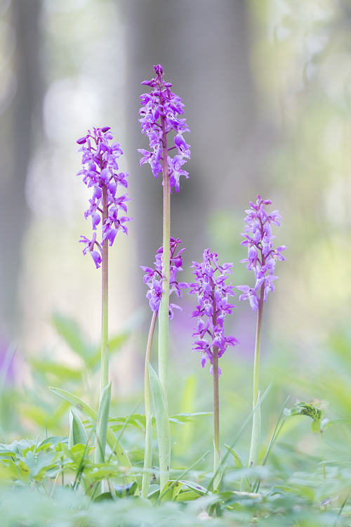 Mannetjesorchis (Orchis mascula)