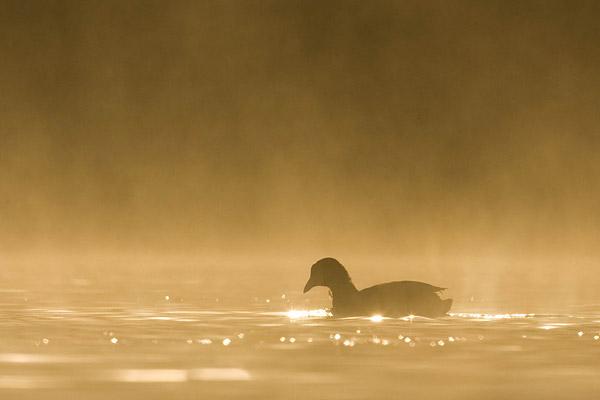 Meerkoet gefotografeerd vanuit de drijvende schuilhut