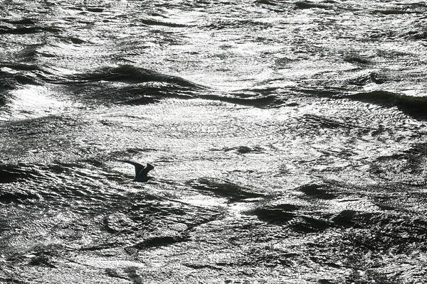 Een groepje zaagbekken vliegt voor de zonnestralen over het IJsselmeer