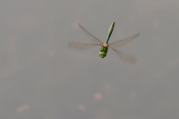 Metaalglanslibel (Somatochlora metallica) mannetje in vlucht