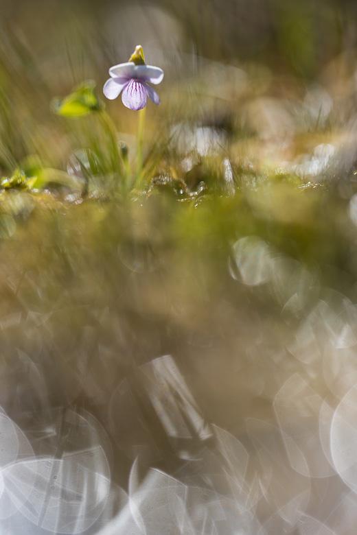 Moerasviooltje (Viola palustris) in tegenlicht.
