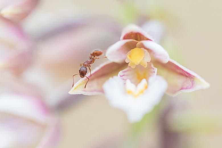 Moeraswespenorchis (Epipactis palustris) word bezocht door een mier.