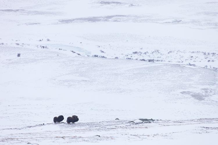 Paartje muskusossen in hun natuurlijke omgeving