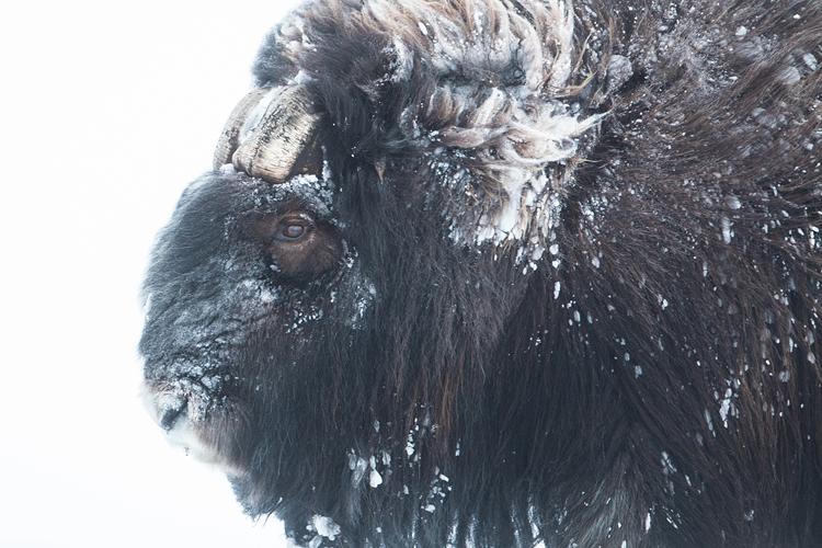Oude muskusos stier in winters Dovrefjell