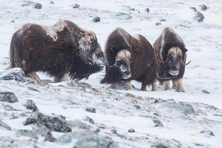 Muskusossen in winters Dovrefjell