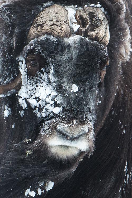 Portret van een besneeuwde muskusos stier