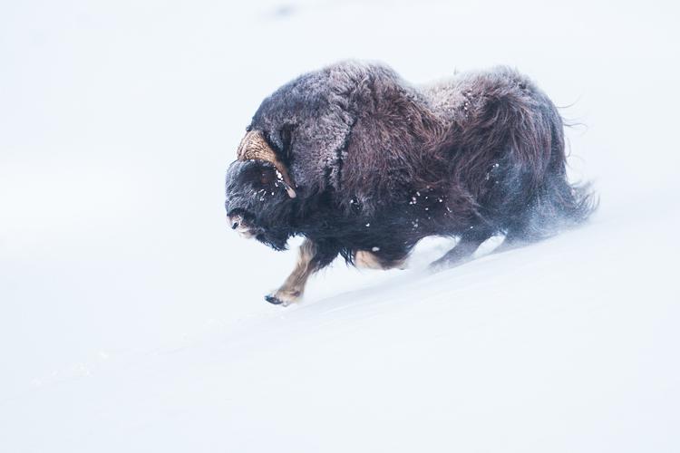 Muskusos stier sprint over de sneeuw
