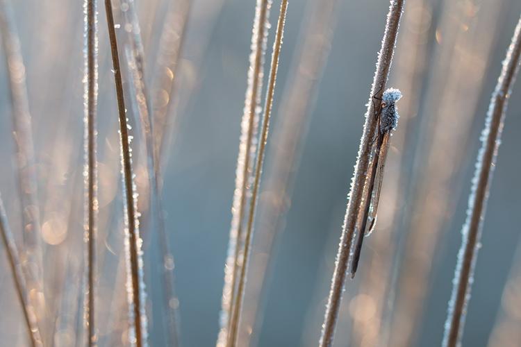 Noordse winterjuffer (Sympecma paedisca) in tegenlicht met bokeh