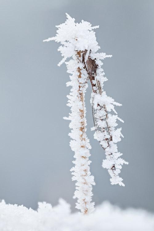 Noordse winterjuffer (Sympecma paedisca) bedekt met een dikke laag rijp