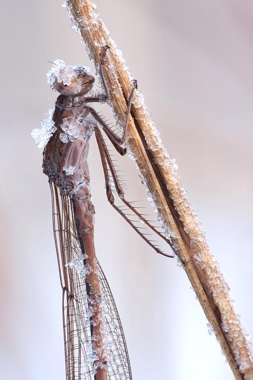 Noordse winterjuffer (Sympecma paedisca) met rijpkristallen