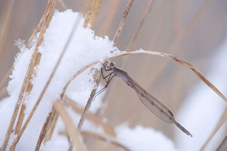 Noordse winterjuffer (Sympecma paedisca) in de sneeuw