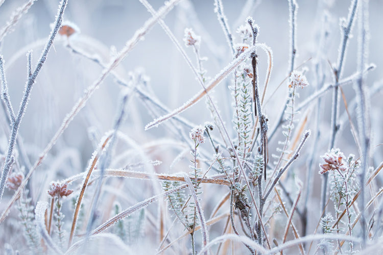 Berijpte noordse winterjuffers in hun bevroren omgeving