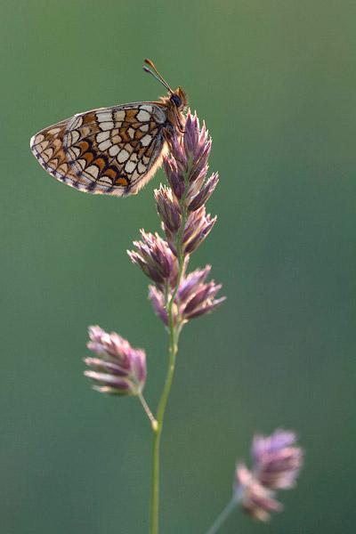 Oostelijke parelmoervlinder (Melitaea britomartis) in het vroege ochtendlicht