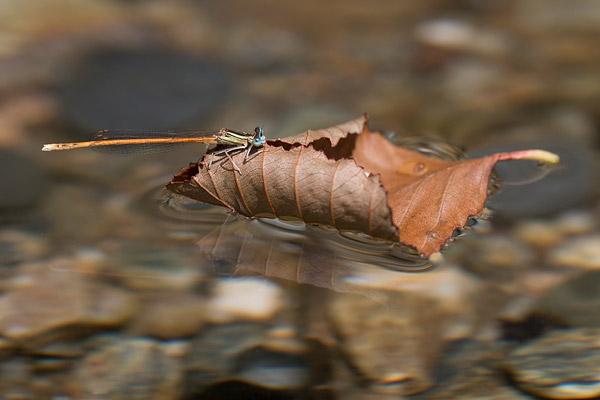 Oranje breedscheenjuffer (Platycnemis acutipennis) op een langsdrijvend blad