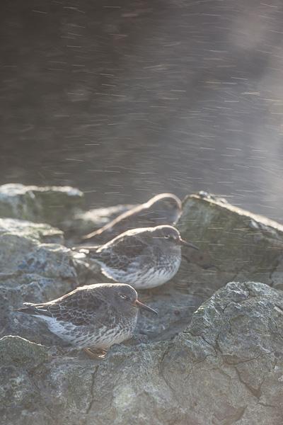 Paarse strandloper (Calidris maritima) in tegenlicht met opspattend water