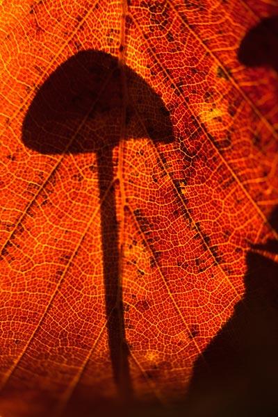 Paddenstoel schaduw in herfstblad