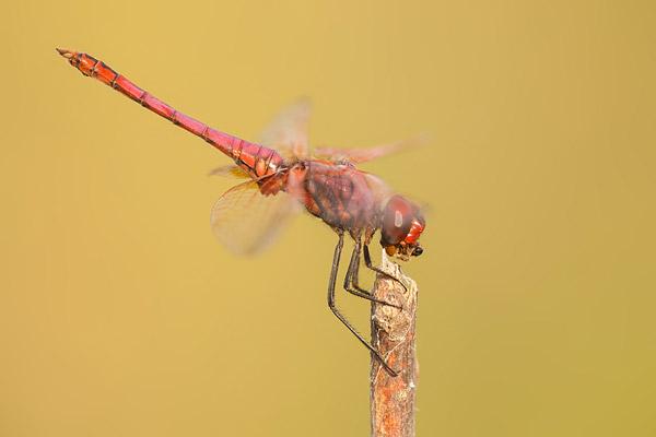 Purperlibel (Trithemis annulata) mannetje met prooi