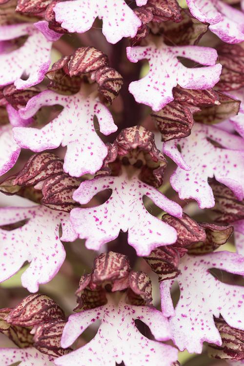 Purperorchis (Orchis purpurea) close-up
