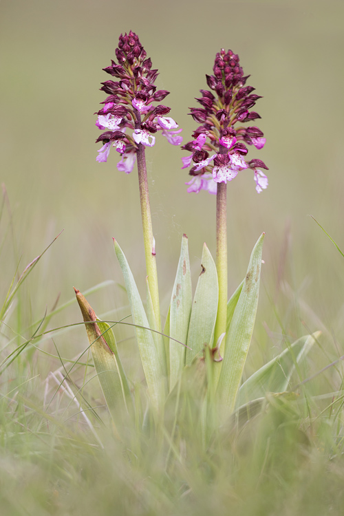 Purperorchis (Orchis purpurea)