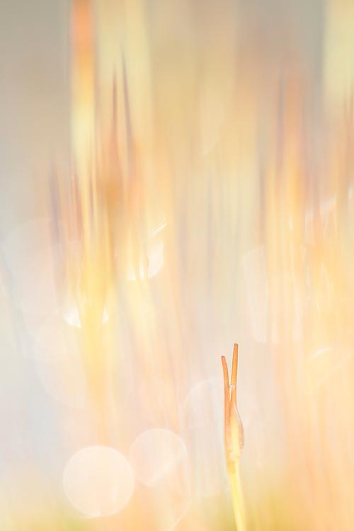 Het purpersteeltje (Ceratodon purpureus)