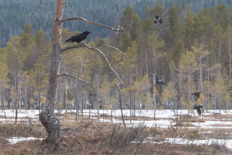 Raaf in het Zweedse landschap