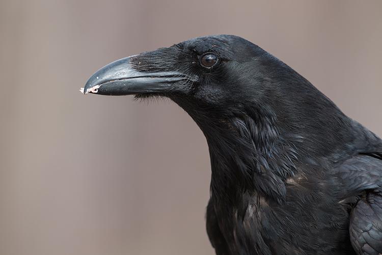 Kopportret van een Raaf (Corvus corax)
